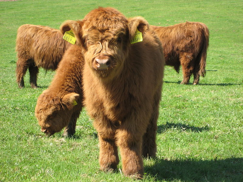 Check out these fluffy ass cows! : aww
