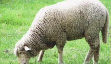 Kasaplık Koyun İthalatı