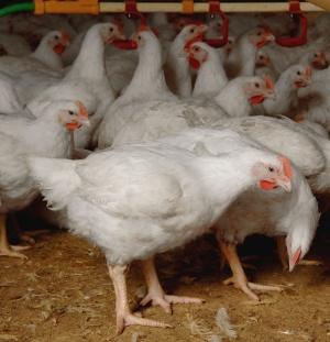 Tavuk Üretiminin Aşamaları