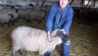Bandırma Koyun Irkı Üretildi