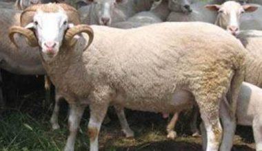 Kıvırcık Koyunu