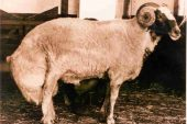 Ödemiş Koyun Irkı
