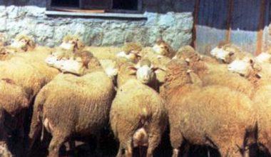 Orta Anadolu Merinos Koyun Irkı