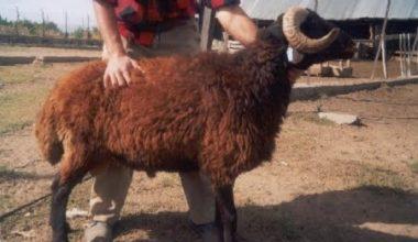 Mor Karaman Koyun Irkı