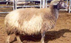 Norduz Koyun Irkı