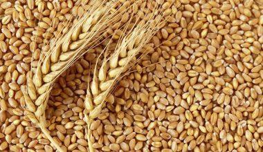 Buğday Tarımı
