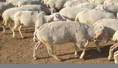 Ramlıç Koyunu