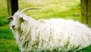 Tiftik Keçisi (Ankara Keçisi veya Angora Keçisi)
