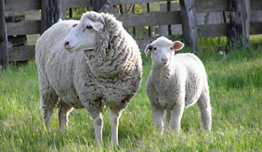 Columbia Koyun Irkı