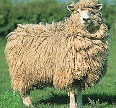 Cotswold Koyun Irkı
