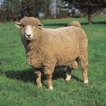 corriedale_sheep_photo