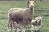 Fin (Finn) Koyun Irkı