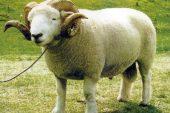 Exmoor Horn Koyun Irkı