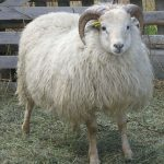 icelandic_sheep_skrami