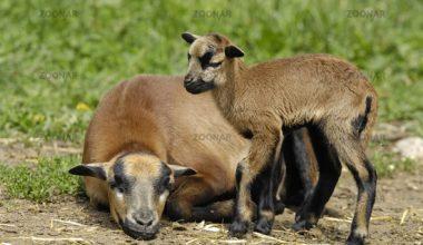 Kamerun Koyun Irkı