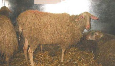 Langhe Koyun Irkı