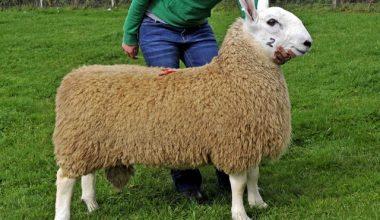 Leicester Koyun Irkı