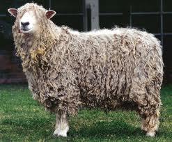 Lincoln Koyun Irkı