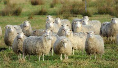 Moorschnucke Koyun Irkı