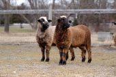 Romeldale Koyun Irkı