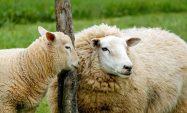 Küçükbaş Hayvancılık Yapmak İsteyenlere Kredi İmkanı