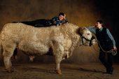 Büyükbaş Hayvan Yetiştiriciliği İçin Banka Kredisi Olanakları