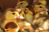 Kazların Kuluçkaya Yatırılması, Civciv ve Palazlarının Bakımı