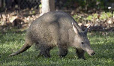 Aardvark (Yer Domuzu)