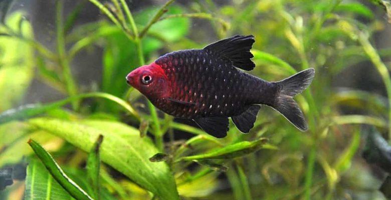 Barb Balığı