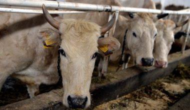 Zavot Sığırı Yetiştiriciliği Ve Irk Özellikleri