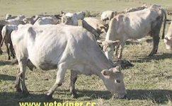 Zavot Sığırı