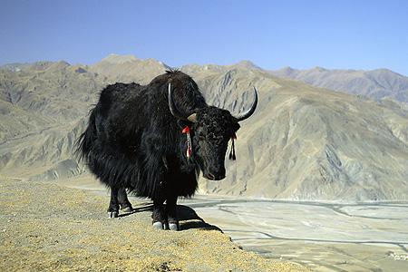 YAK (Tibet Öküzü)