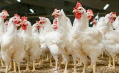 Ülkemizde Hayvancılık ve Kanatlı Hayvan Sektörü