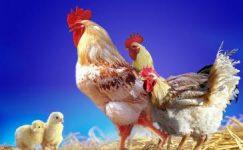 Tavuk Sektörü Önemli Bir Geçim Kaynağı
