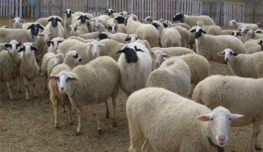 Koyunlarda Elden Yemleme