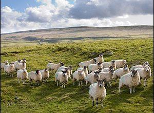 Koyunlarda Verim ve Verimi Etkileyen Faktörler