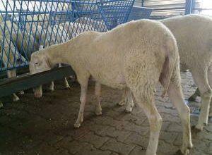 Koyunların Gebelik Döneminde Beslenmesi