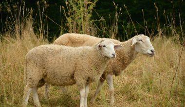 Koyunlarda Koç Katım Döneminde Beslenme