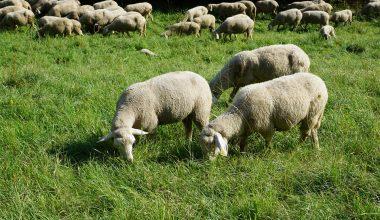 Koyunlarda Otlak Yemlemesi Dönemi