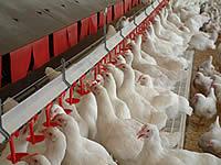 Ülkemizde Tavukçuluk ve Tavuk Üretimi