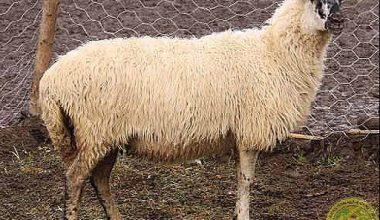Hemşin Koyunu