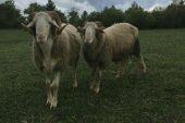 Sönmez Koyunu ve Özellikleri