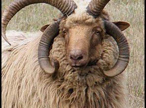 Churro Koyun Irkı
