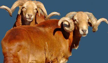 Damare Koyun Irkı