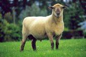 Dorsetdown Koyun Irkı