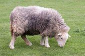 Herdwick Koyun Irkı