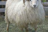 Iceland (İzlanda) Koyun Irkı