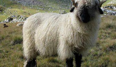 Karaburun – Schwarznasen Koyun Irkı