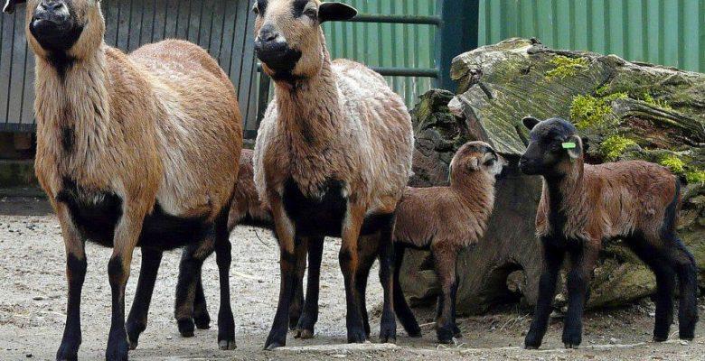 Kamerun Koyunu ve Özellikleri