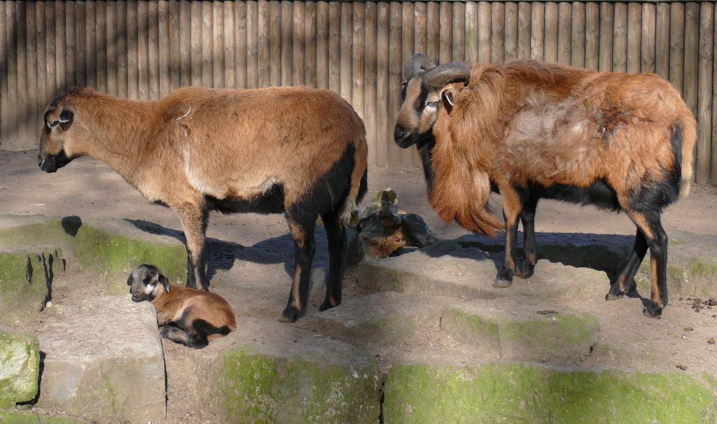 Kamerun Koyunu